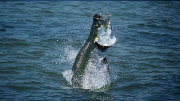 Fly Fishing Panhandle Tarpon