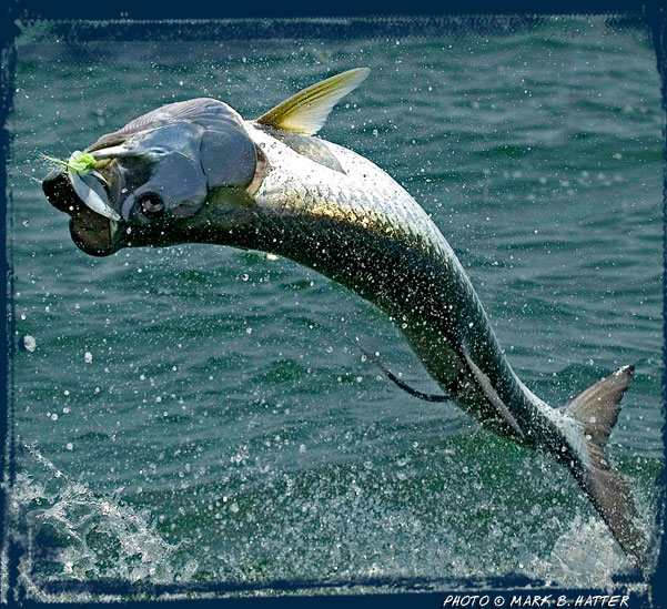 Fly fishing for tarpon in apalachicola salted flats fly for Fly fishing for tarpon