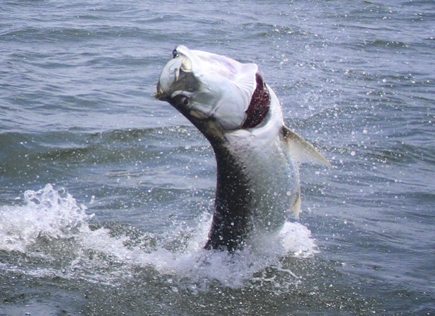 Tarpon fly fishing guide in apalachicola for Fly fishing for tarpon