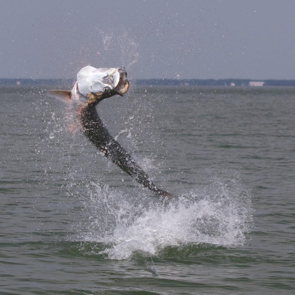 Fly fishing northwest florida 39 s tarpon for Fly fishing for tarpon