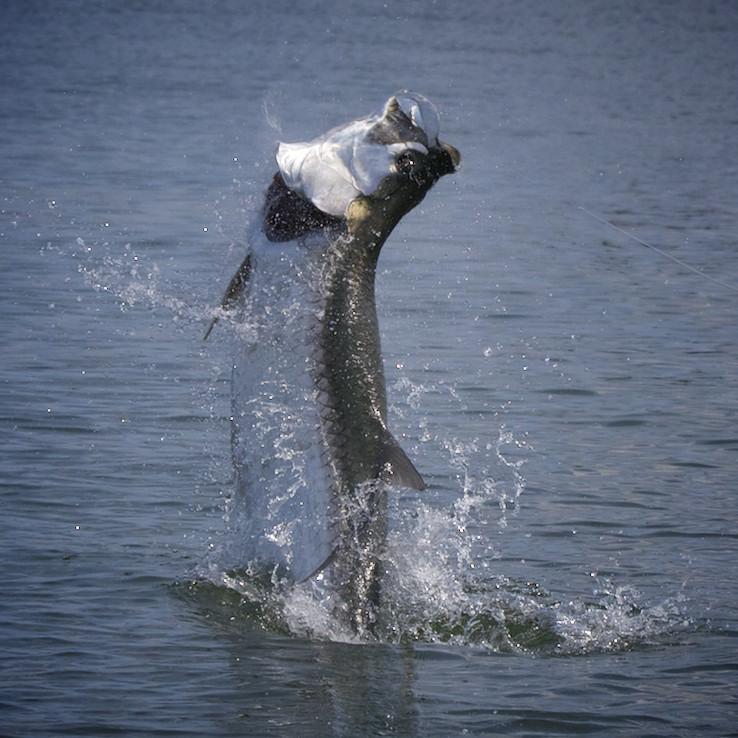 Fly fishing northwest florida 39 s tarpon for Apalachicola fishing report