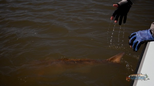 Release of a New Orleans Louisiana Bull Refish caught Fly Fishing
