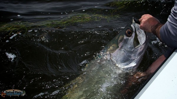 Angler in Aplalachicola with tarpon