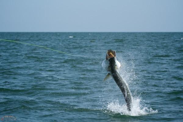 Apalachicola tarpon guide for Apalachicola fishing report