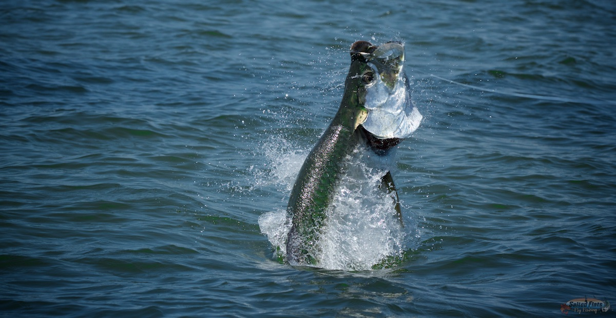Fly fishing for tarpon archives salted flats fly fishing for Apalachicola fishing report