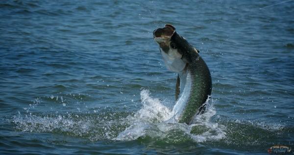 Fly Fishing Apalachicola Tarpon