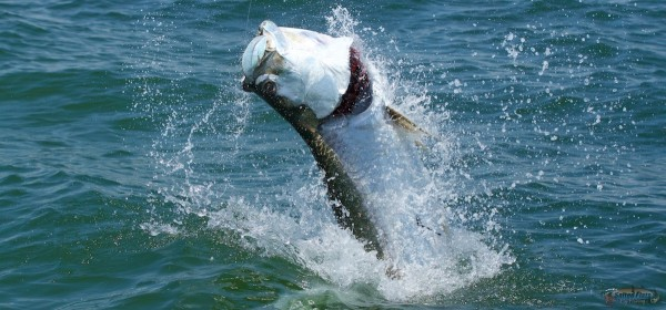 Apalachicola Fly Fishing Guide for Tarpon