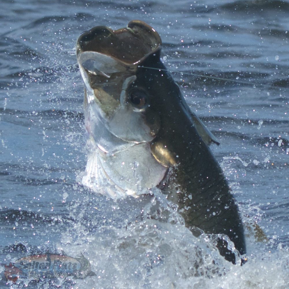 Apalachicola fly fishing guide for Fly fishing for tarpon