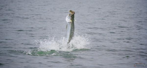 July Fly Fishing Tarpon Apalachicola