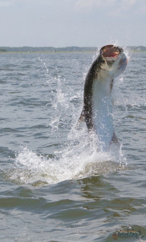 Carabelle Fly Fishing for tarpon in July