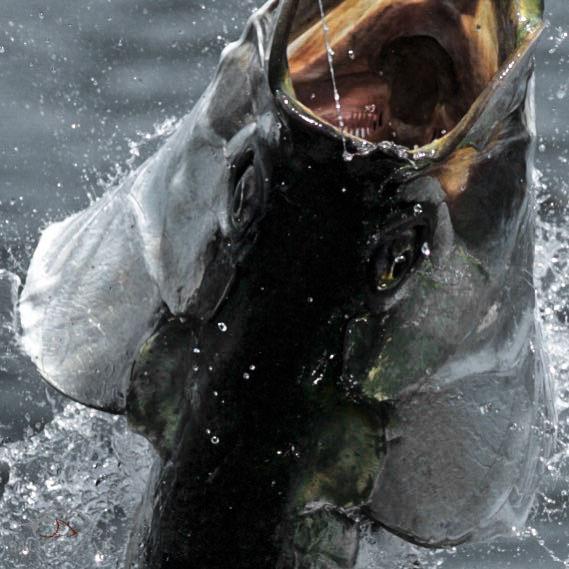 Fly Fishing tarpon