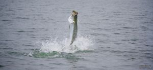July Fly Fishing Tarpon Apalachicola