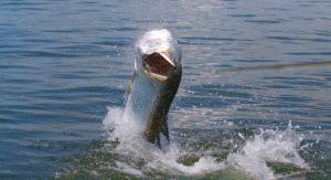 Fly Fishing Tarpon in Apalachicola