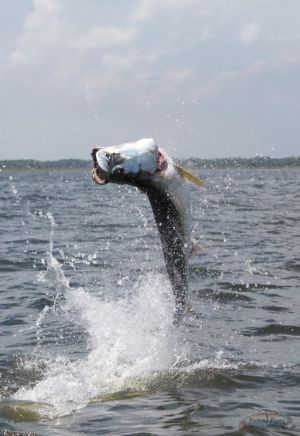 July Fly Fishing for Tarpon Florida Panhandle