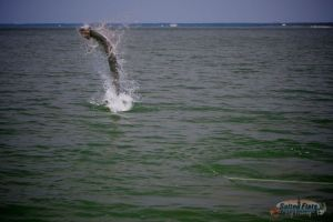 Panhandle Fly Fishing Tarpon