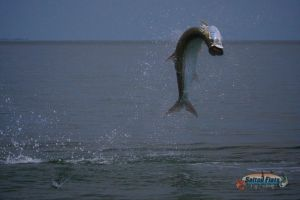 Apalachicola Fly Fishing Tarpon